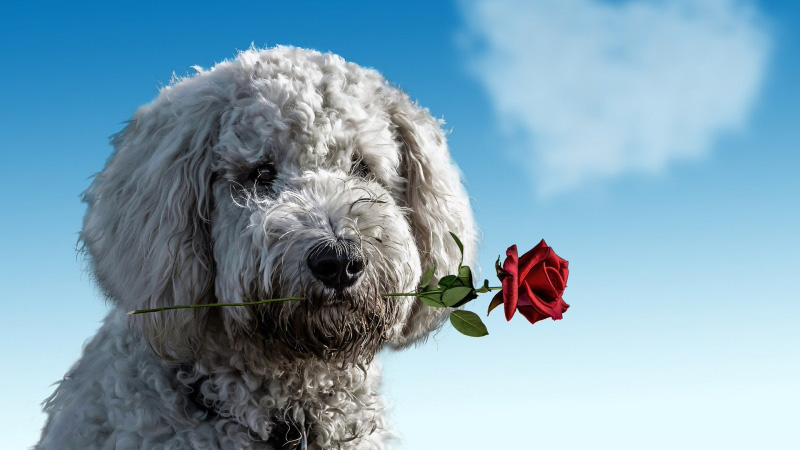 Millions of pets to be showered with gifts on Valentine's Day